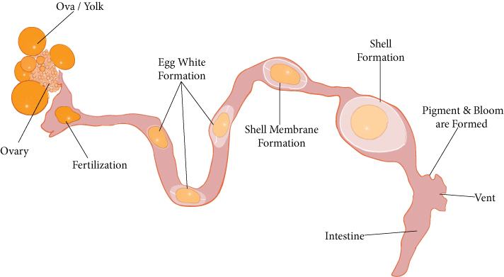 Egg Formation Process