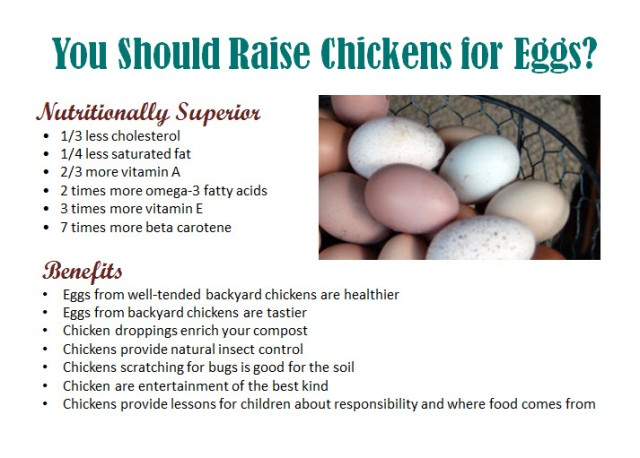 Why-Raise-Chickens-For-Eggs