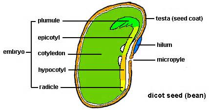 Anatomy of a Seed [image source: greatneck.k12.ny.us]