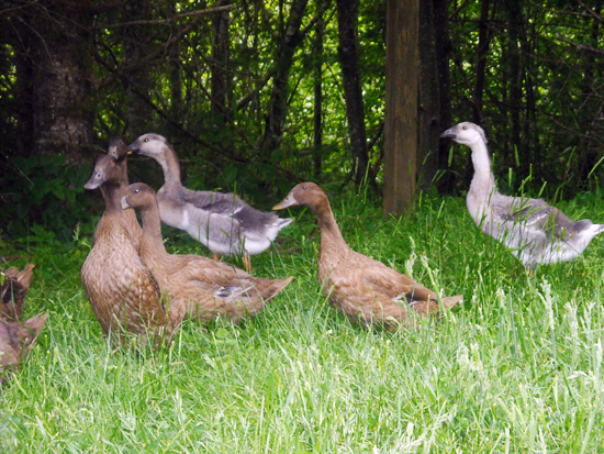 Young Ducks and Geese
