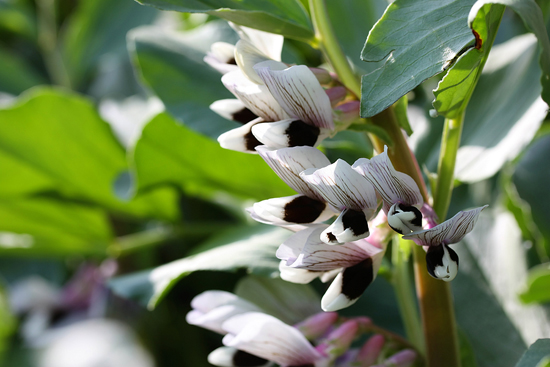 Growing-Broad-Beans-Flowering