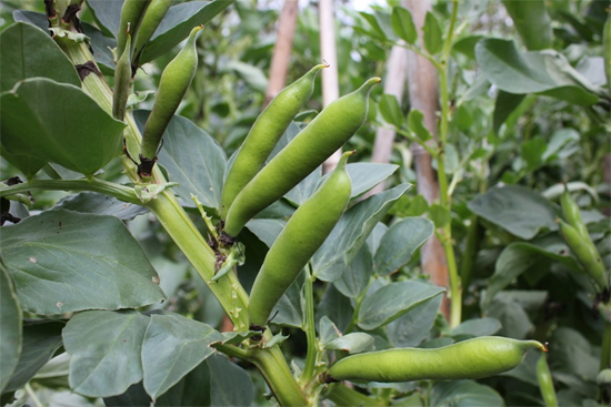 Growing-Broad-Beans-Full