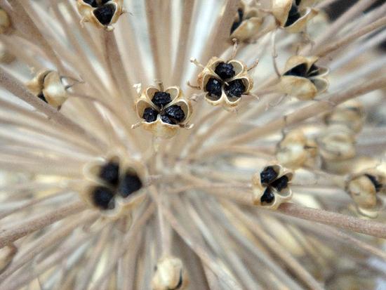 Growing-Bunching-Onion-Seeds