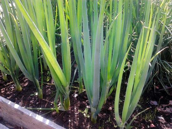 Growing-Bunching-Onion