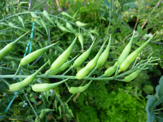 Radishes Seeding Out [image source: floridahillbilly-com]