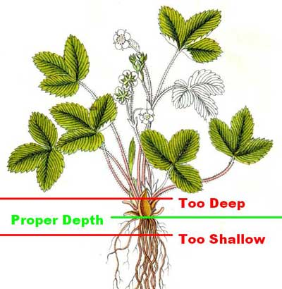 Strawberry Plant Depth