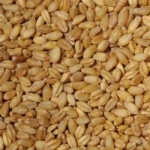 bulgur-whole-grain