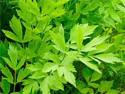 Lovage Plant Photo courtesy Baker Creek Heirloom Seeds